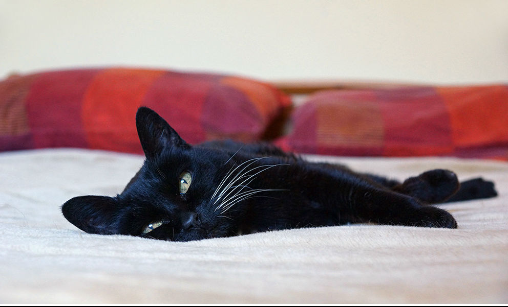 Senior Cat by Hehaden/CreativeCommons