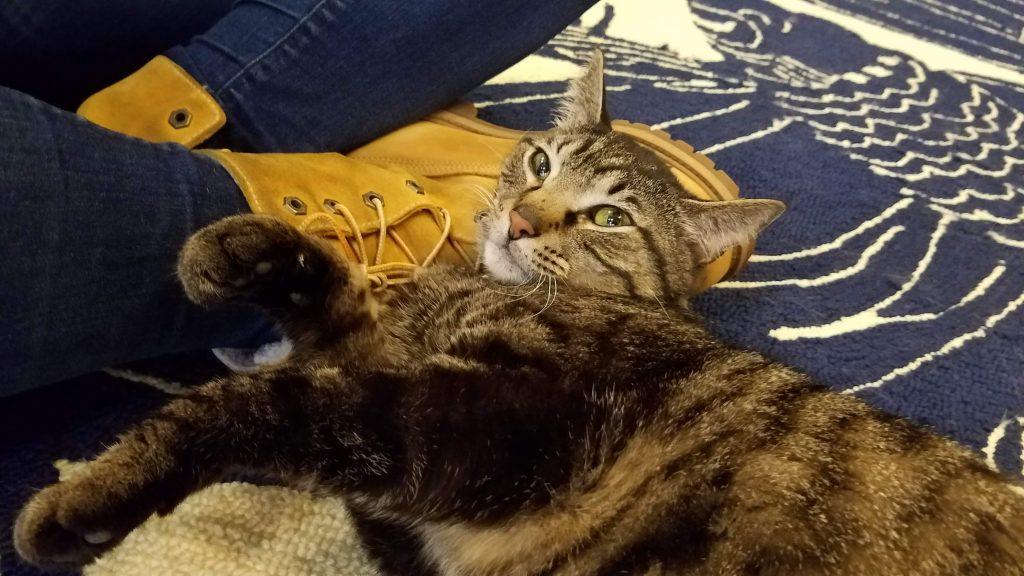 Damien, Adoptable Cat at affoGATO