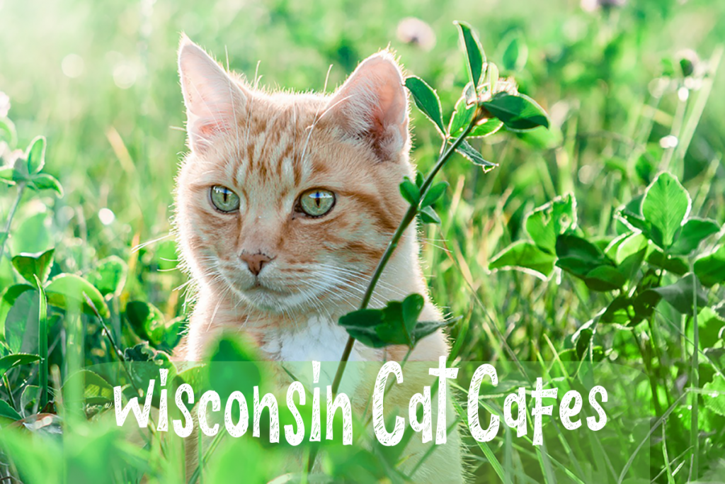 Wisconsin Cat Cafes