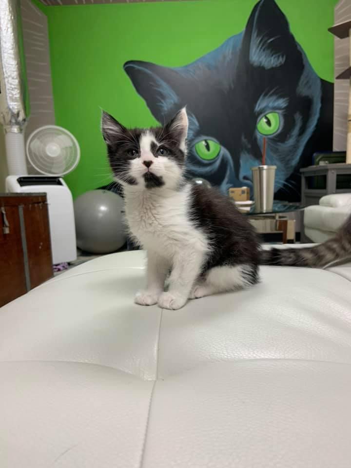 Cattyshack, Inc. Huntsville kitten